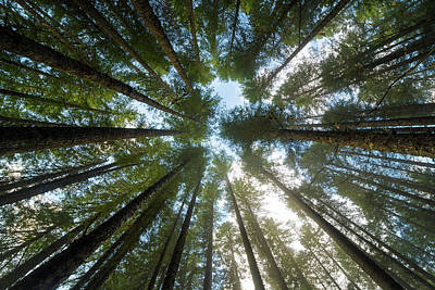 Photograph - Towering Fir Trees In Oregon Forest State Park by David Gn