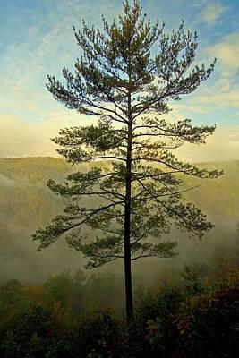 Towering Pine Art Print