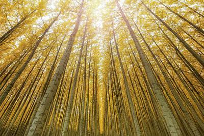 Photograph - Towering Poplar Trees In Boardman Oregon Tree Farm by David Gn