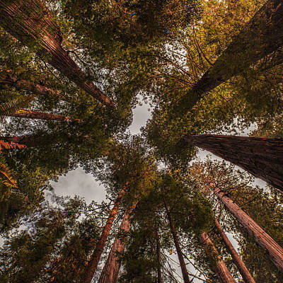 Redwoods Photograph - Towering Redwoods by Andrew Soundarajan