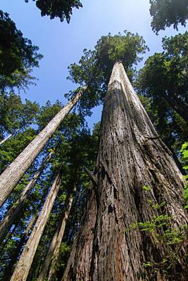 Towering Redwoods Art Print