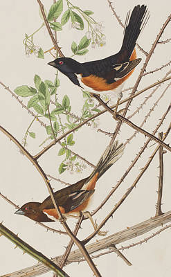Leaf Drawing - Towhe Bunting by John James Audubon