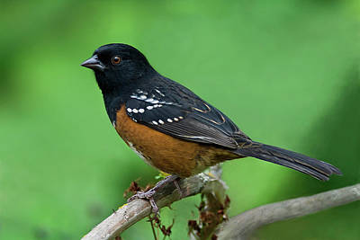 Photograph - Towhee by Craig Strand