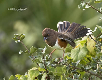 Photograph - Towhee Female by Mike Fitzgerald