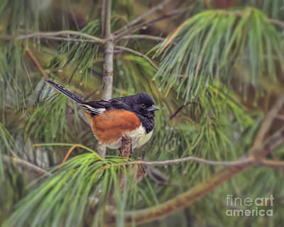 Photograph - Towhee In The Tree by Kerri Farley