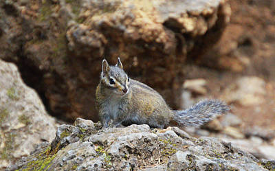 Photograph - Townsend's Chipmunk by Kathy Kelly
