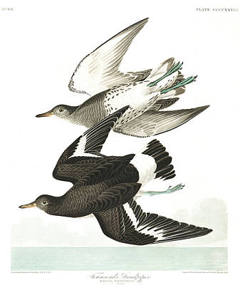 Sandpiper Wall Art - Painting - Townsends Sandpiper by John James Audubon
