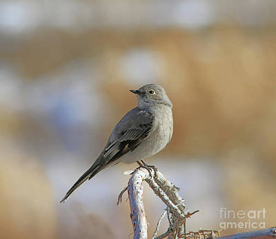 Grey Photograph - Townsend's Solitaire by Gary Wing