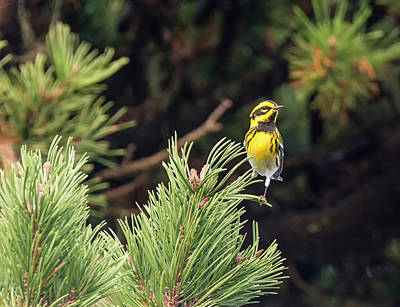 Photograph - Townsend's Warbler In The Pines by Loree Johnson