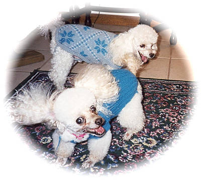 Photograph - Toy Poodles Ready To Walk by Jeanne Kay Juhos
