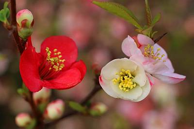 Photograph - Toyo-nishiki Quince Blooms 2 by Kathryn Meyer