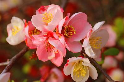 Photograph - Toyo-nishiki Quince Blooms by Kathryn Meyer