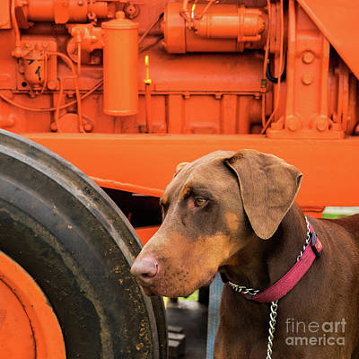 Photograph - Tractor Dog by Rick Piper Photography