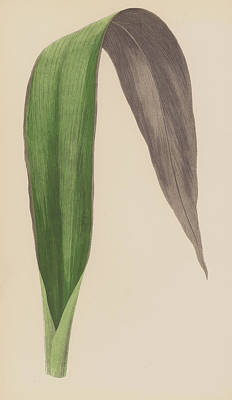 Bent Painting - Tradescantia Odoratissima by English School