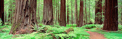 Woodland Trail Photograph - Trail, Avenue Of The Giants, Founders by Panoramic Images