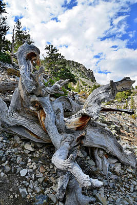Photograph - Trailside Bristlecone Pine by Ray Mathis
