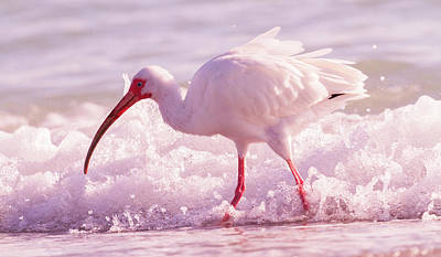 Ibis Wall Art - Photograph - Tranquil Beauty Cortez Beach by Betsy Knapp
