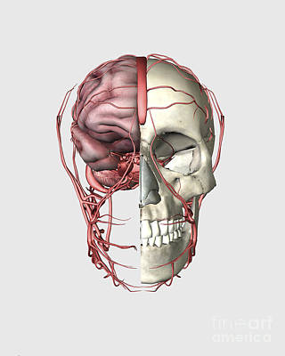 Human Skeleton Digital Art - Transectional View Of Human Skull by Stocktrek Images
