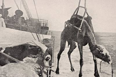 Transferring Camel From Ship To Land In Print by Vintage Design Pics