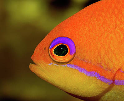 Photograph - Transforming Lyretail Anthias by Jim Zablotny