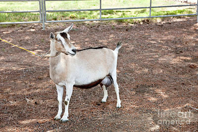 Transgenic Goat, Alpine Breed Print by Inga Spence