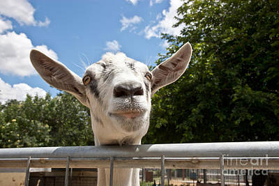 Transgenic Goat Peering Over Fence Print by Inga Spence