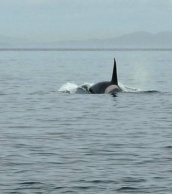 Photograph - Transient Killer Whale by Brian Chase