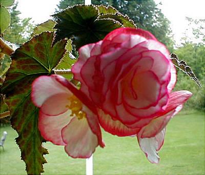 Translucent Begonia Art Print
