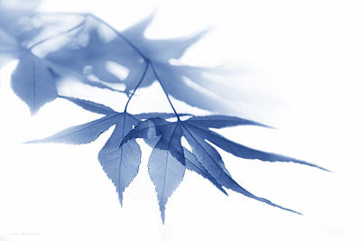 Photograph - Translucent Blue Leaves by Jennie Marie Schell