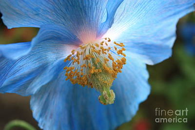 Translucent Blue Poppy Print by Carol Groenen