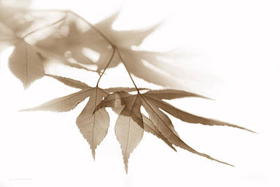 Photograph - Translucent Brown Leaves by Jennie Marie Schell