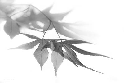 Photograph - Translucent Gray Leaves by Jennie Marie Schell