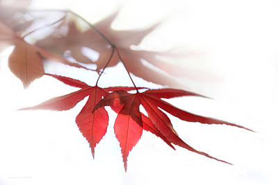 Photograph - Translucent Red Japanese Maple Leaves by Jennie Marie Schell