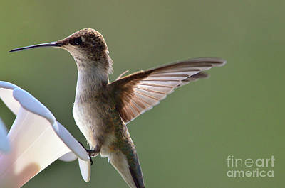 Photograph - Transparent Winged Hummingbird by Debby Pueschel