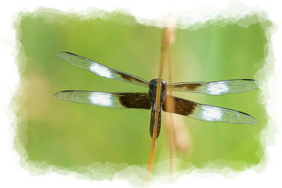 Photograph - Transparent Wings by Dan Friend