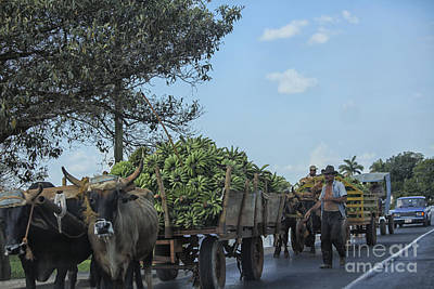 Transporting Bananas In Cuba Print by Patricia Hofmeester