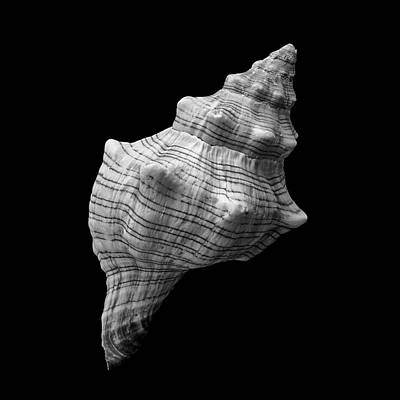 Trapezium Horse Conch Sea Shell Print by Jim Hughes