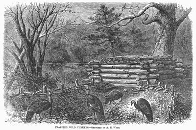 Photograph - Trapping Wild Turkeys, 1868 by Granger