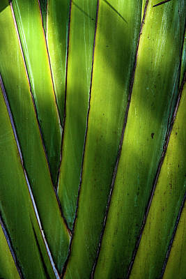 Photograph - Travelers Palm by Steve Gravano