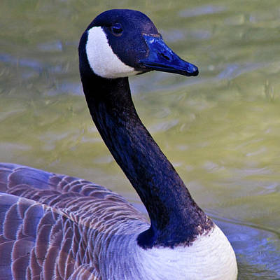 Canadian Geese Photograph - Traveling Man by Betsy Knapp