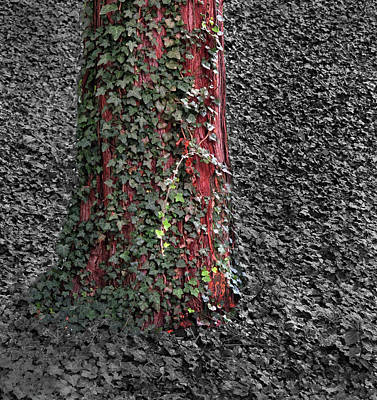 Photograph - Tree And Ivy by Dave Mills