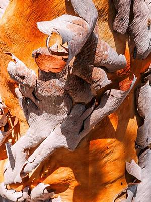 Photograph - Tree Bark Series #43 Salmon Gum by Lexa Harpell