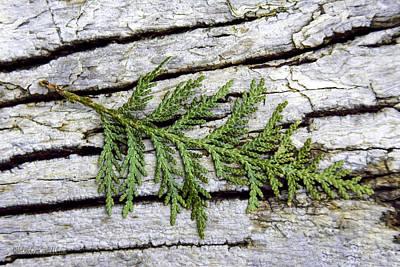 Photograph - Tree Bark With Cedar by LeeAnn McLaneGoetz McLaneGoetzStudioLLCcom