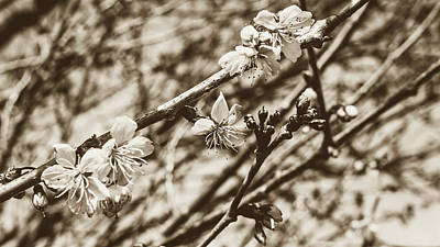 Photograph - Tree Blossom A by Jacek Wojnarowski