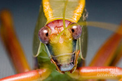 Photograph - Tree Cricket by B.G. Thomson