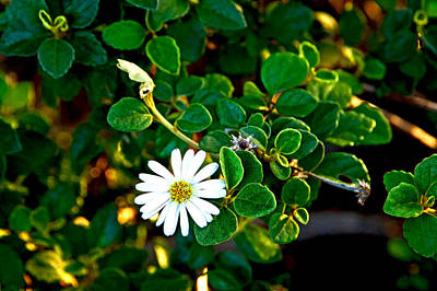Photograph - Tree Daisy by Miroslava Jurcik