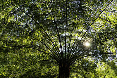 Photograph - Tree Fern Sunburst by Georgia Mizuleva