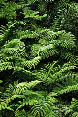 Hapuu Photograph - Tree Ferns by Charmian Vistaunet