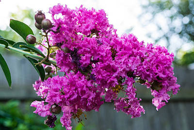 Photograph - Crepe Myrtle Flower by James Gay