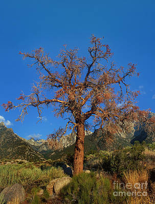 Photograph - Tree Frames The Sierras Alabama Hills California by Dave Welling